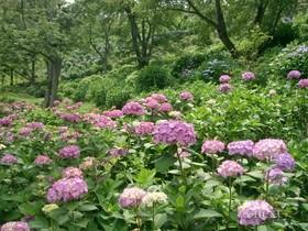 [写真]アジサイの花