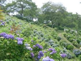 [写真]美の山公園のアジサイ