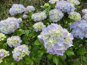 [写真]薄紫色の花