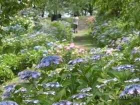 [写真]アジサイの咲く道