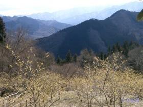 [写真]あずまや山のロウバイ
