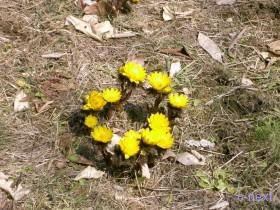 [写真]福寿草の花