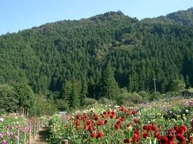[写真]両神山麓花の郷ダリア園