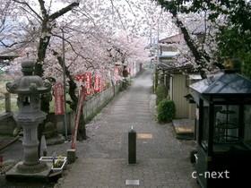 [写真]桜が咲いた参道