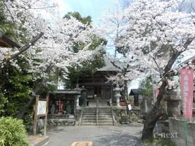 [写真]定林寺の桜