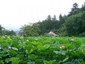 [写真]蓮池