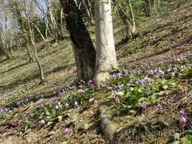 [写真]カタクリの花