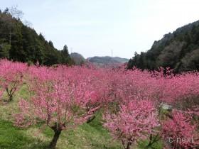 [写真]満開の花桃