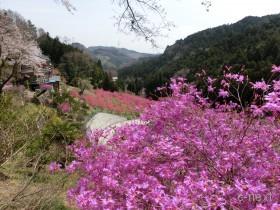 [写真]花桃の郷のツツジ・桜
