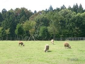[写真]ふれあい牧場の羊