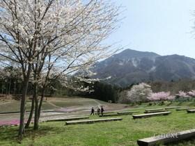 [写真]桜の季節の「芝桜の丘」
