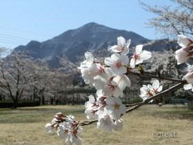 [写真]羊山公園の桜