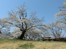 [写真]桜とベンチ