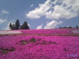 [写真]芝桜の丘