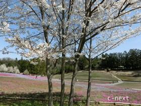 [写真]桜と咲きはじめの芝桜