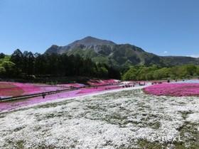 [写真]芝桜と武甲山