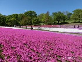 [写真]芝桜と新緑