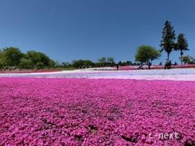 [写真]芝桜と青空