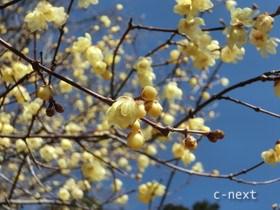 [写真]ロウバイの花