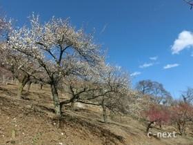 [写真]宝登山の梅百花園