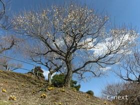[写真]梅と福寿草