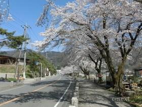 [写真]桜の季節の参道