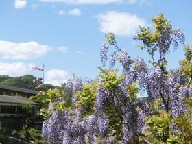 [写真]藤の花とこいのぼり