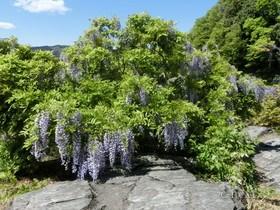 [写真]長瀞岩畳の藤の花