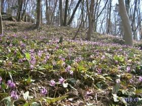 [写真]斜面を埋めるカタクリの花