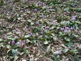 [写真]かたくりの花