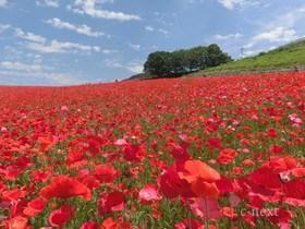[写真]秩父高原牧場のポピー花畑