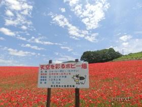[写真]赤く染まったポピー畑