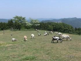 [写真]牧場のヤギ