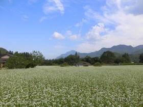 [写真]花が咲いたそば畑