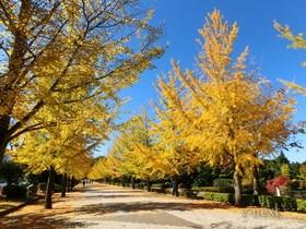 [写真]秩父ミューズパークのイチョウ並木