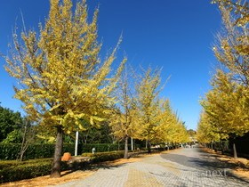 [写真]スカイロードのイチョウ並木