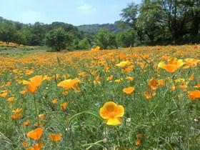 [写真]花の里のハナビシソウ