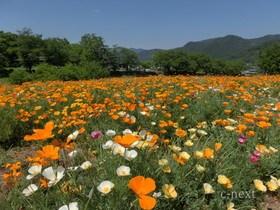 [写真]ハナビシソウの花畑