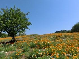 [写真]ハナビシソウ園の風景