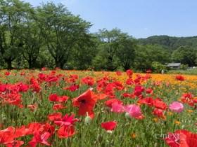 [写真]赤いポピーの花