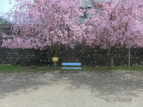 [写真]じんたんのベンチ(桜の季節)