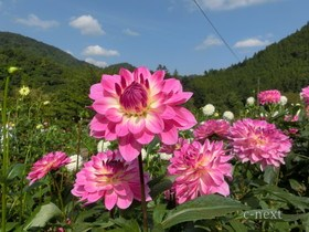 [写真]ダリアの花