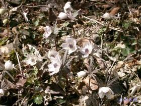 [写真]節分草の花