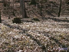 [写真]白い花で埋められた林