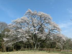 [写真]鉢形城跡のエドヒガン桜