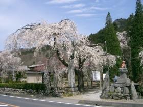 [写真]法善寺のしだれ桜