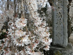 [写真]満開のしだれ桜