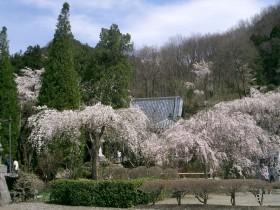 [写真]桜と本堂