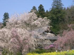 [写真]桜と菜の花