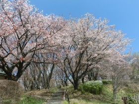 [写真]美の山公園の桜